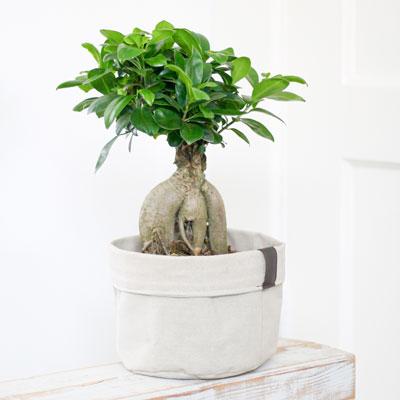 Bonsai Boompje in Plantbag