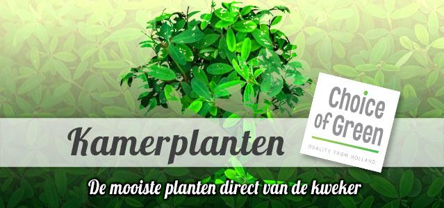 Choice of Green - Groene Kamerplanten direct van de kweker