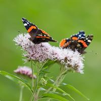 Biologische Bloembollen - Vlinders in de tuin